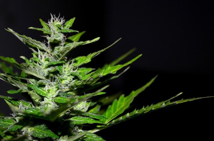 cannabis 大麻